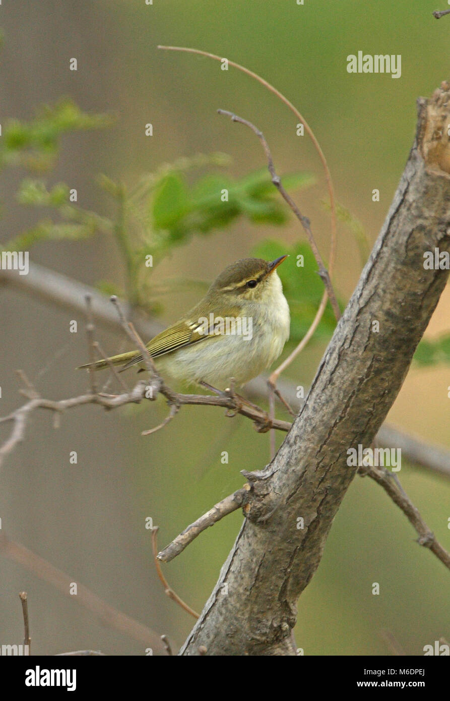 Two-barred Greenish Warbler (Phylloscopus plumbeitarsus) adult perched on twig  Hebei, China            May Stock Photo