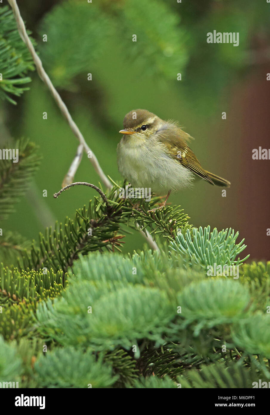 Two-barred Greenish Warbler (Phylloscopus plumbeitarsus) adult perched in conifer  Hebei, China            May Stock Photo