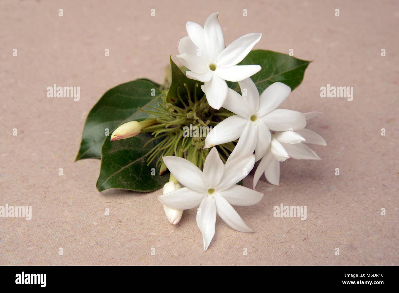 Kunda Flower Stock Photos Kunda Flower Stock Images Alamy