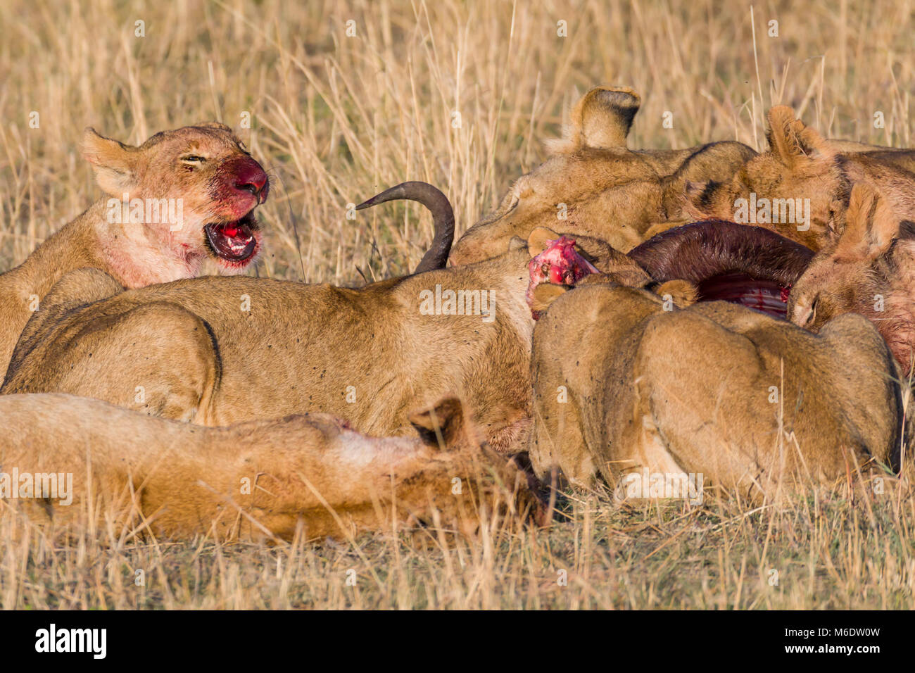 Pride of lions feeding on prey (wildebeest) in savanna, enjoying fresh meat, blood and flies is all over theirs Stock Photo