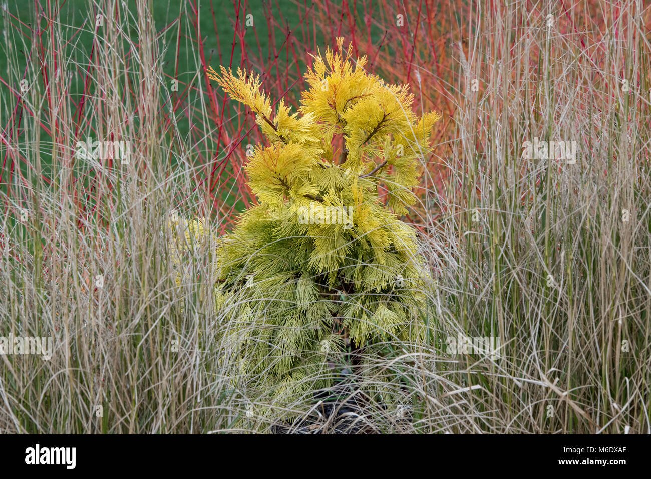 Calocedrus decurrens 'Berrima Gold'. Incense cedar 'Berrima Gold. Slow growing columnar conifer tree. UK - Stock Image