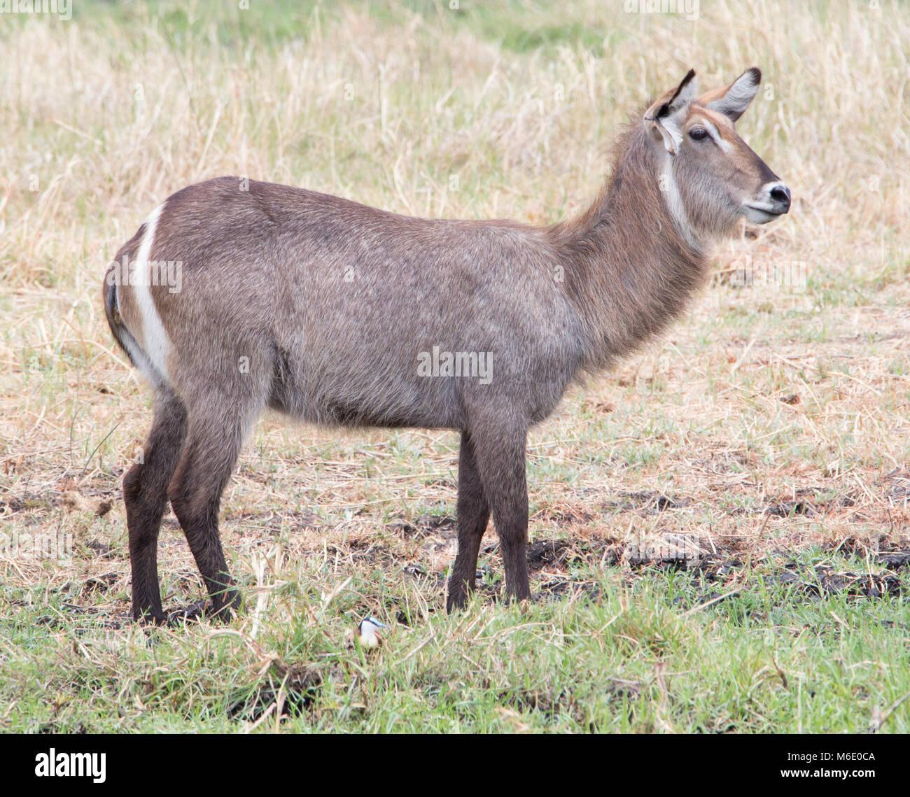 Waterbuck Kobus ellipsiprymnus - Stock Image