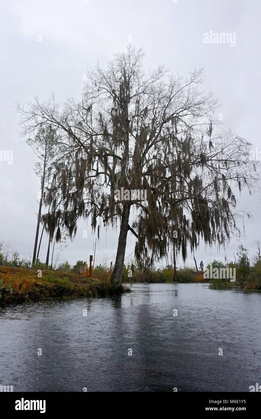 In a steady rain, a tree leans over into the waters of the Okefenokee National Wildlife Refuge, Georgia, USA. - Stock Image