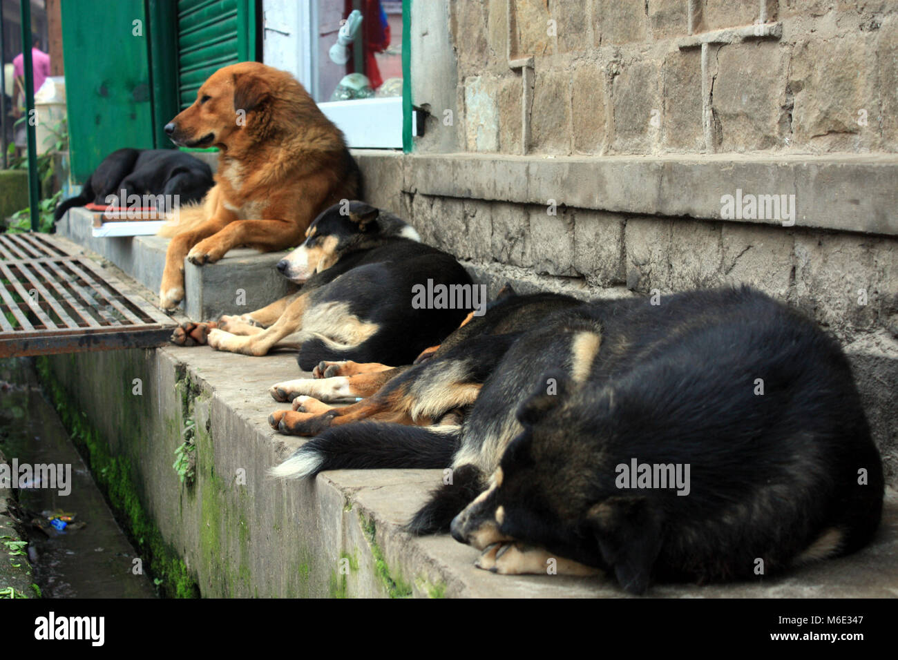 Dogs in Dharamsala - Stock Image