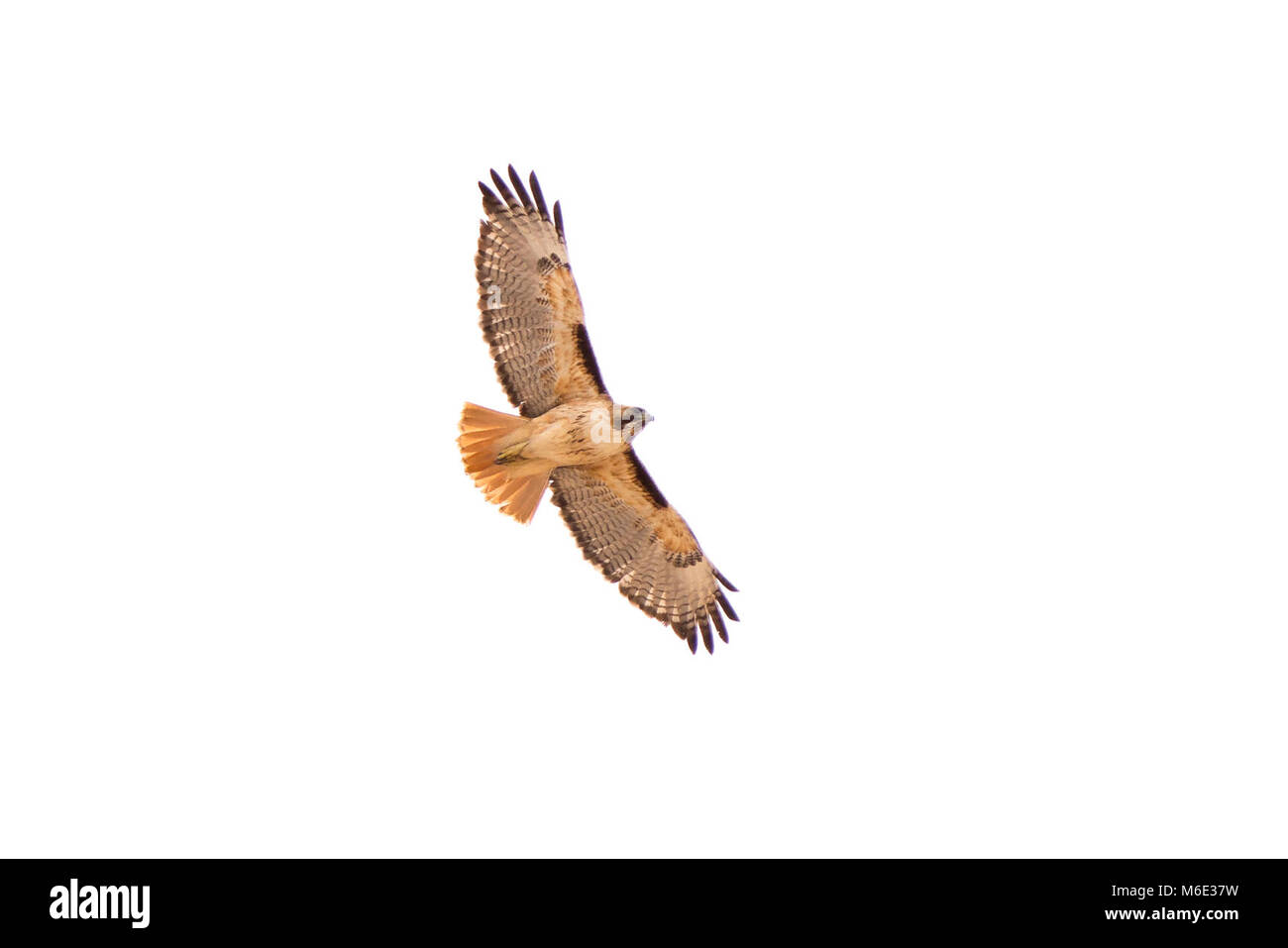 Red-tailed hawk (Buteo jamaicensis). - Stock Image