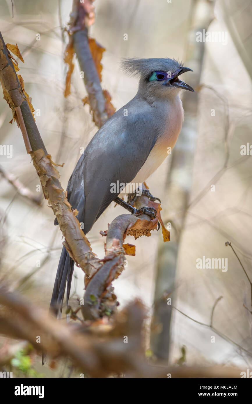 Crested Coua - Coua cristata, unique beautiful endemic bird from Madagascar dry forest - Kirindy. - Stock Image