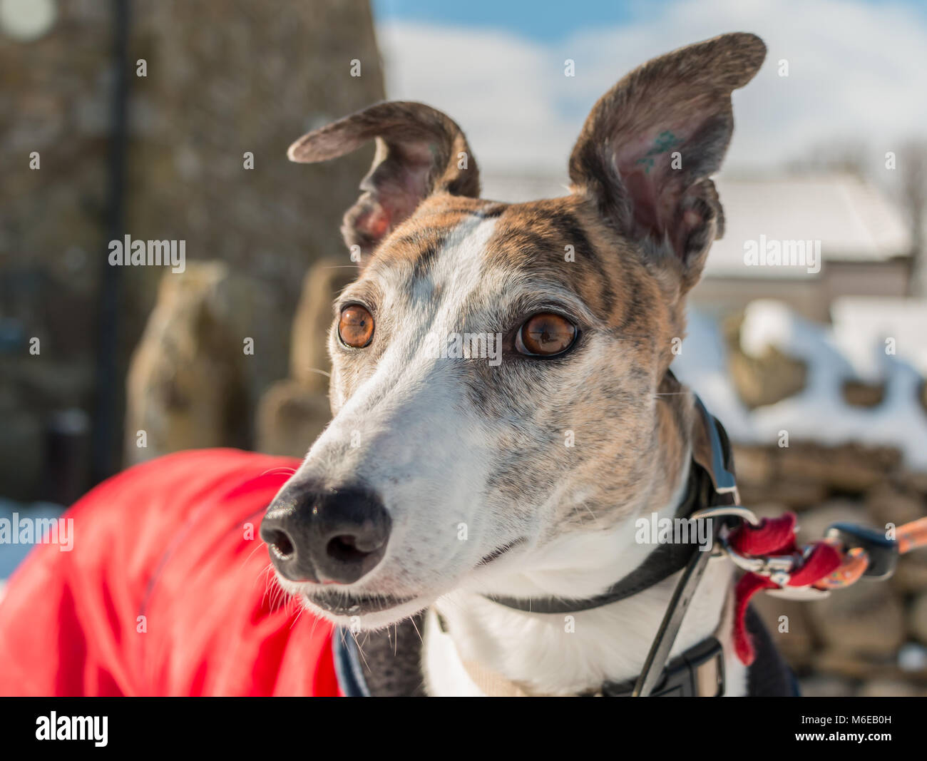 Portrait of a beautiful brindle and white retired (ex-racing) greyhound wearing a red coat in sunshine on a winter - Stock Image