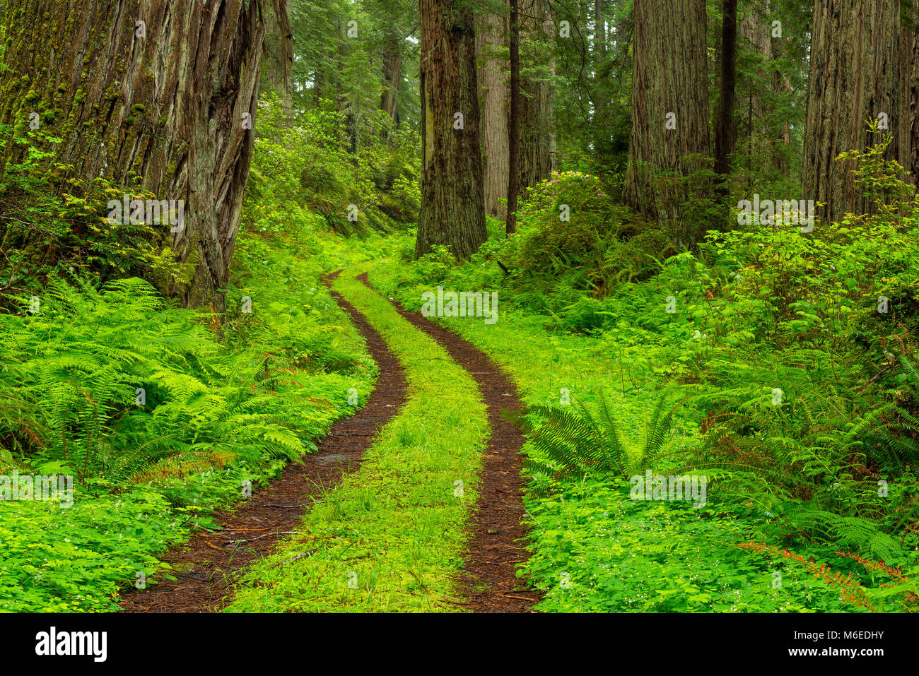 Forest Path, Redwoods, Damnation Creek, Del Norte Redwoods State Park, Cailfornia - Stock Image