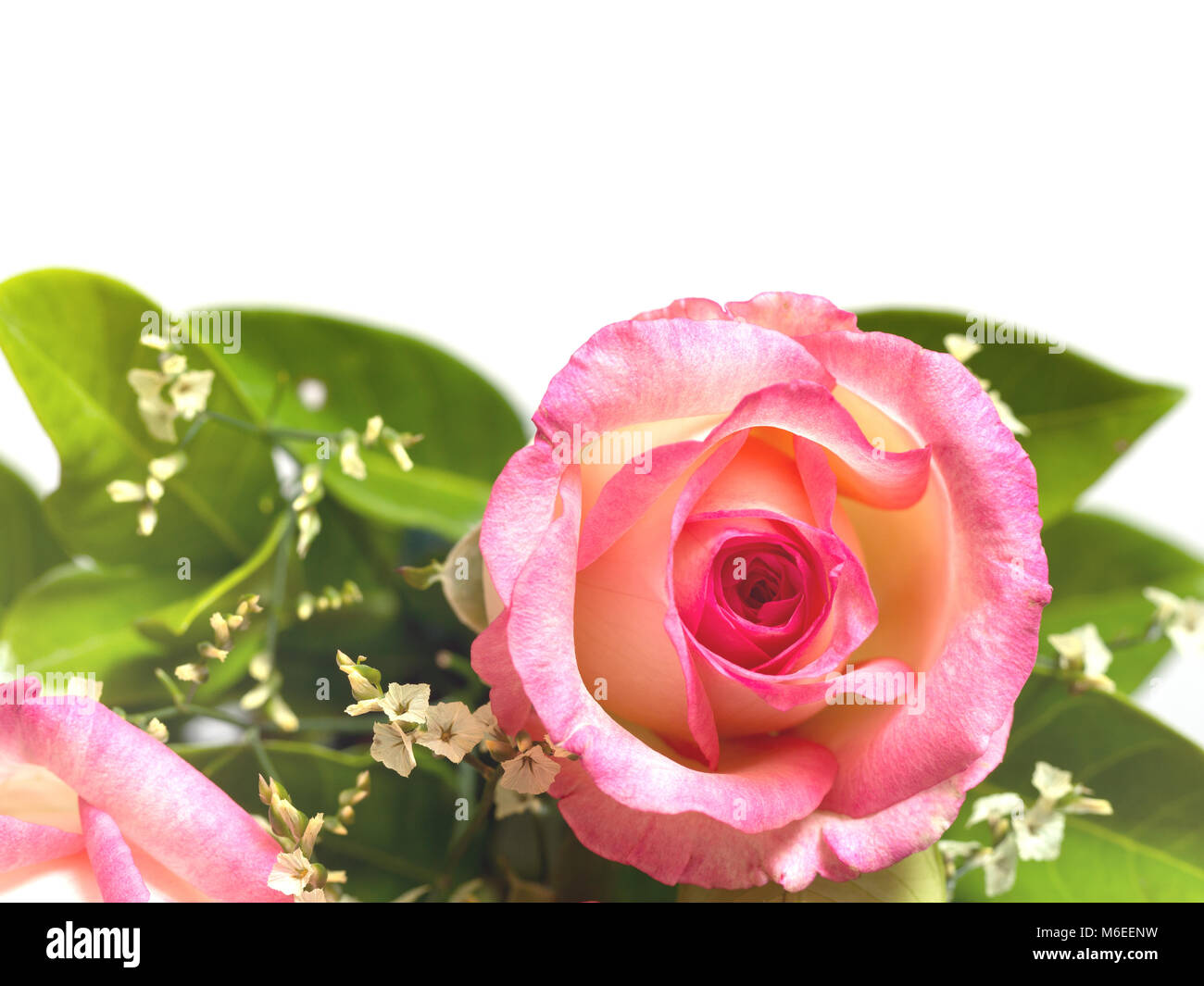 pink rose flower with green leaves and dew point (droplet) on white background (isolated background) - Stock Image