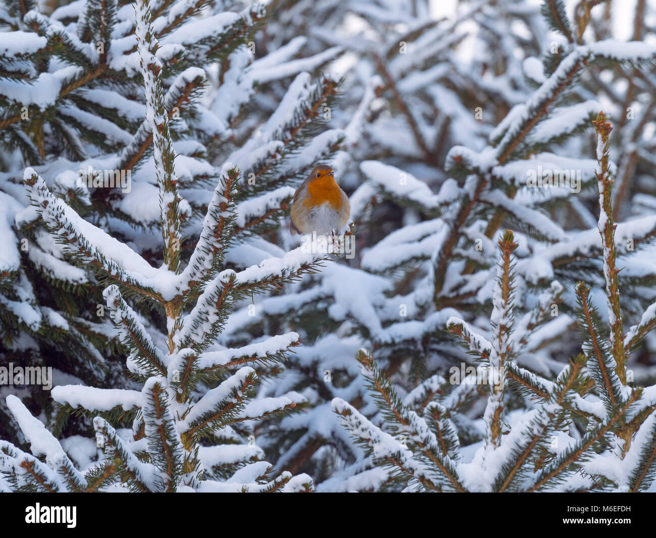 Robin Erithacus Rubecula in snow - Stock Image