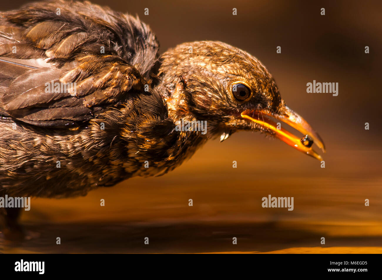Black bird (turdus merula) chicken, drinking, hot summer - Stock Image