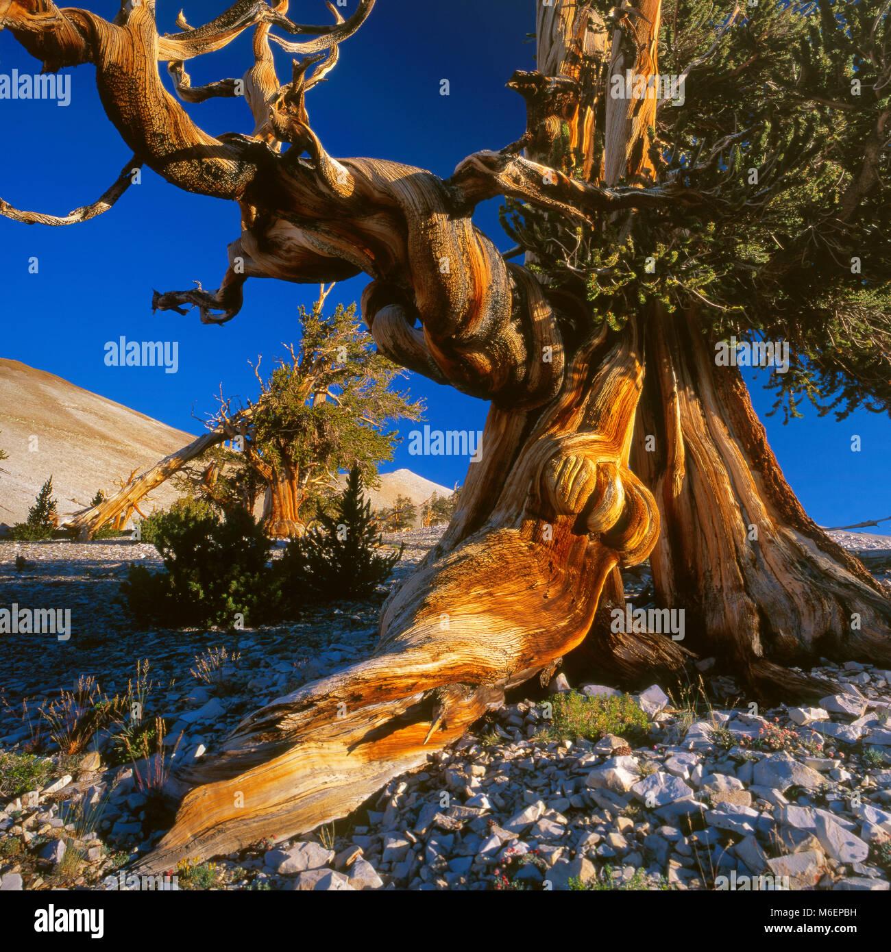 Bristlecone Pine, Pinus longaeva, White Mountain, Inyo National Forest, Eastern Sierra, California - Stock Image
