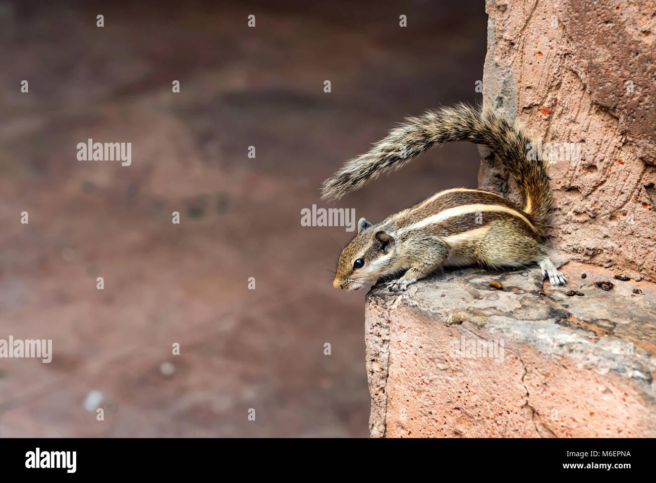 Indian palm squirrel or Funambulus palmarum - Stock Image