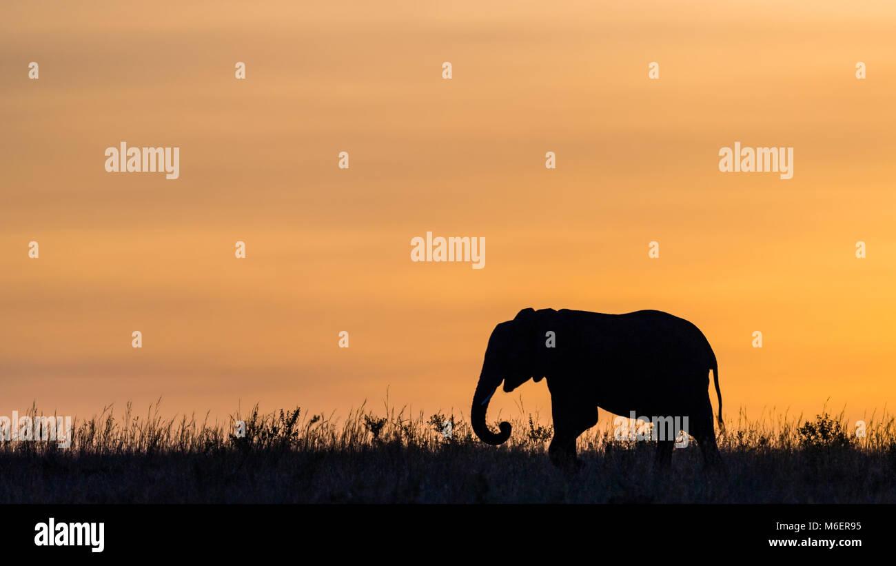 African Wildlife - Elephant - Stock Image