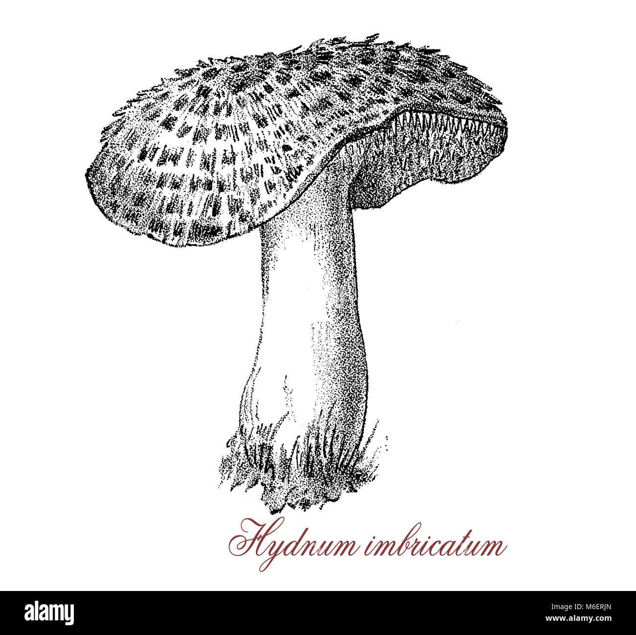 Vintage engraving of  sarcodon imbricatum  or shingled edgehog, edible mushroom with white flash and brown cap large - Stock Image
