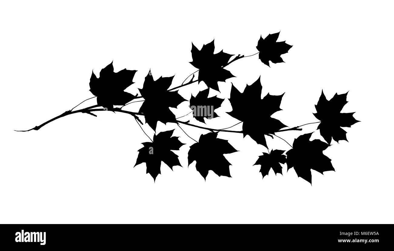 Black sihlouette of maple twig with leaves isolated on white. - Stock Image