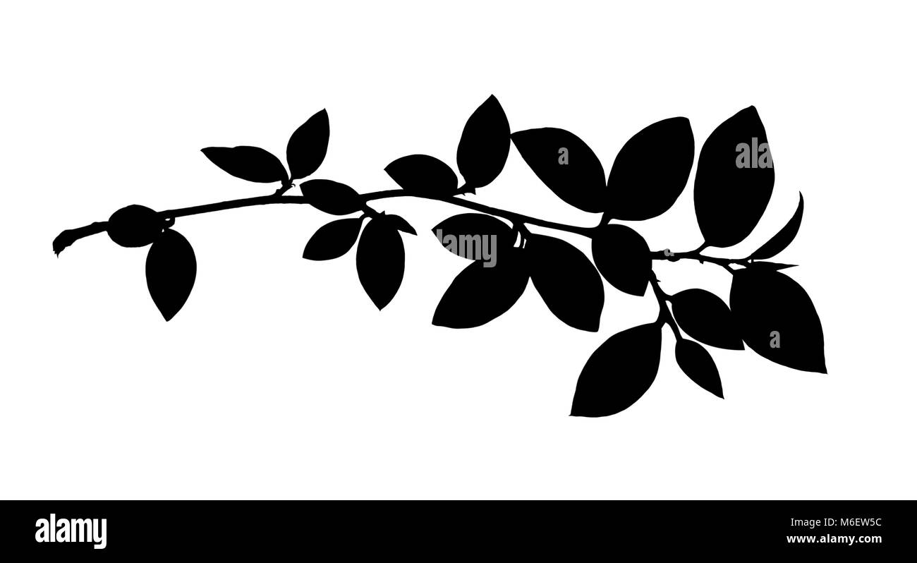 Black sihlouette of spring twig with leaves isolated on white - Stock Image