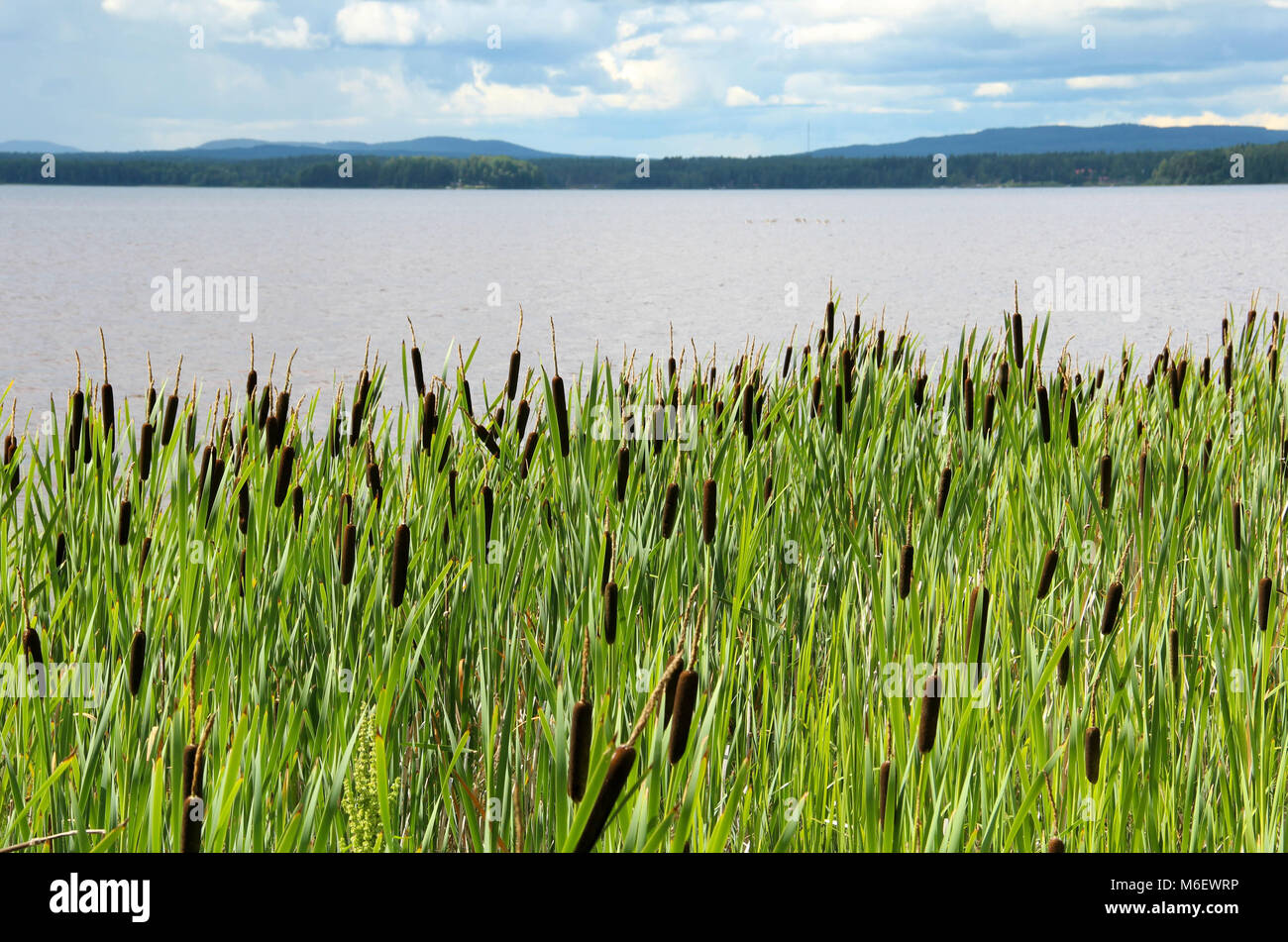 Beach by Orsa lake in Dalarna, Sweden, with lots of bulrush plants in the foreground. - Stock Image