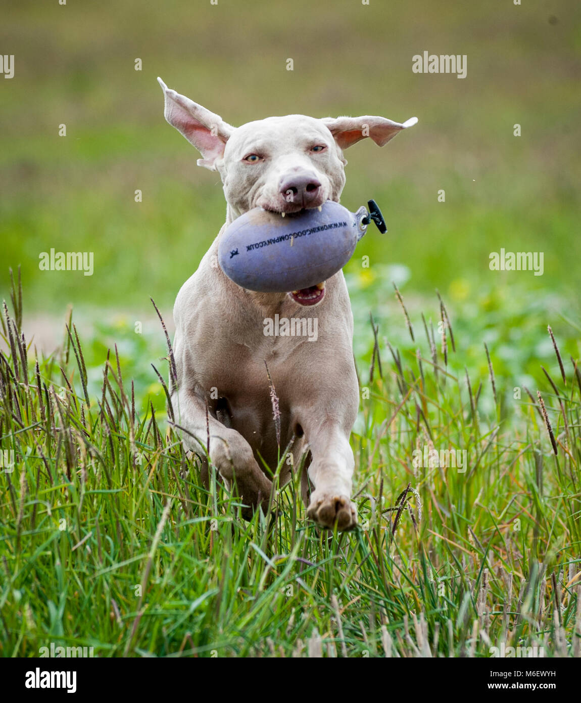 Weimaraner dog running in a field with a training dummy in its mouth Stock Photo
