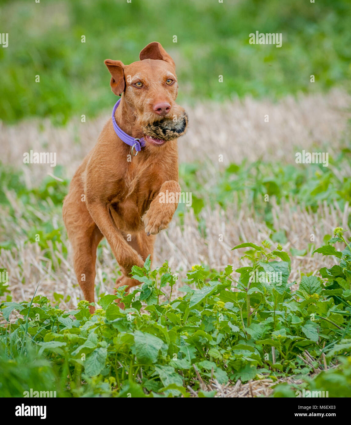Wirehaired Vizsla dog running in a field with a training dummy in its mouth - Stock Image