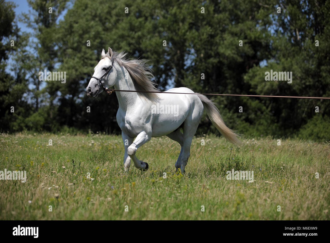Andalusian horse white horse galloping on a meadow - Stock Image