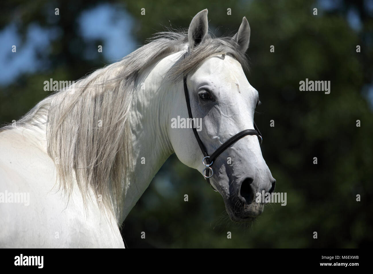 Andalusian Horse White Horse Portrait Spain Europe Stock Photo Alamy