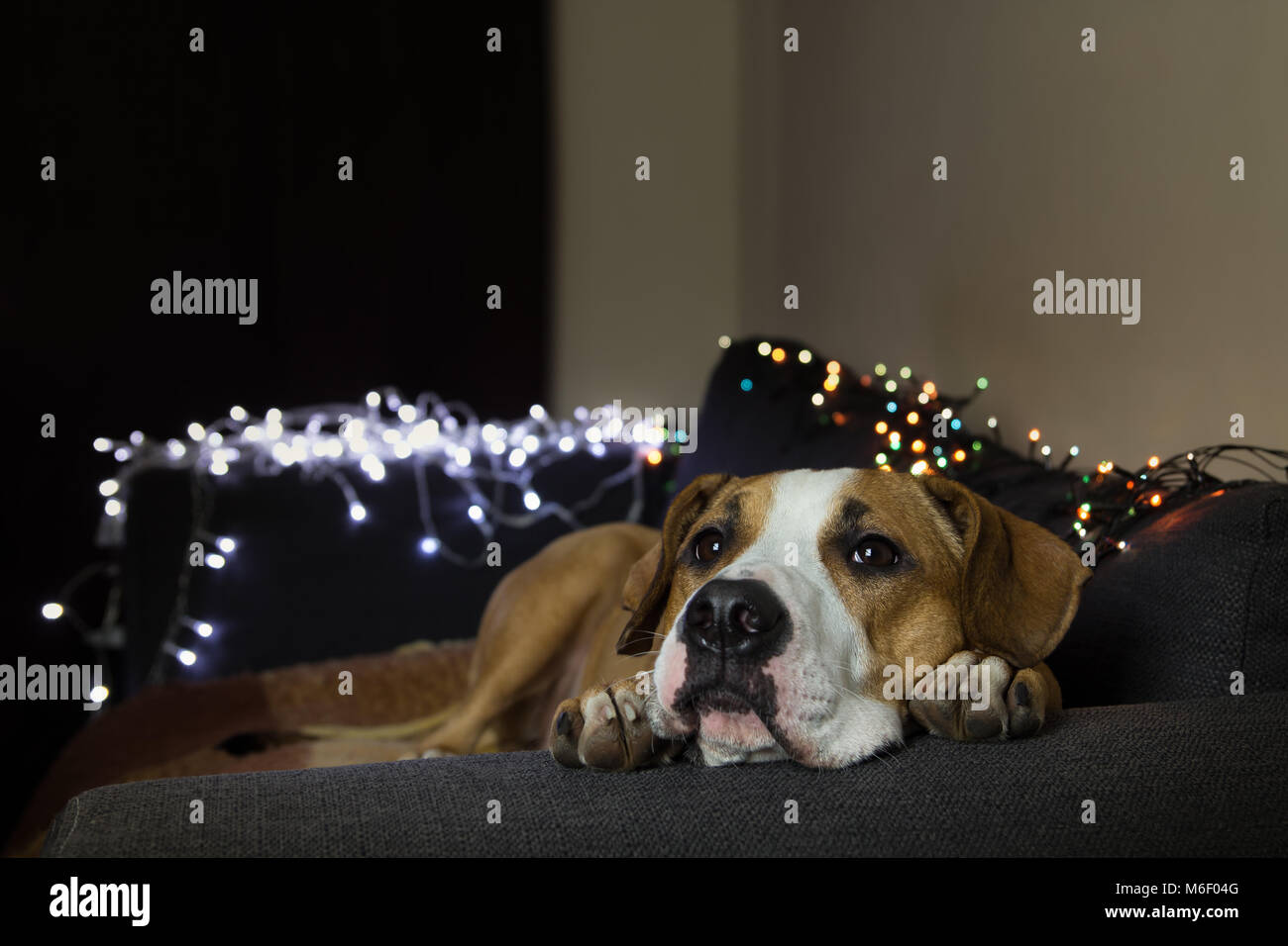 Dog on couch in room with christmas tree set - Stock Image