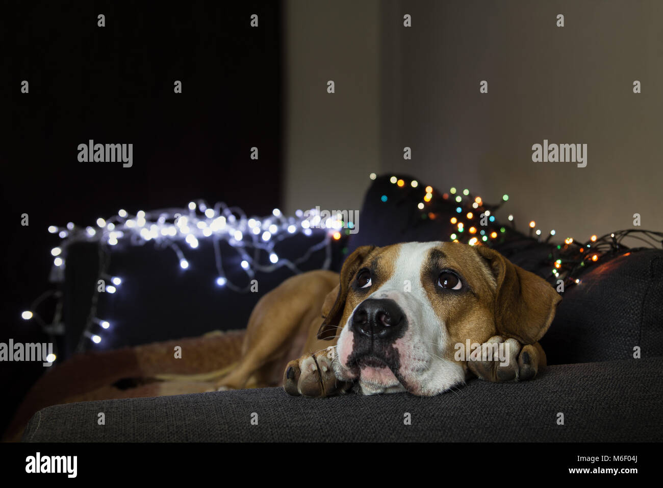Dog on couch in cozy room with christmas tree set looking up - Stock Image