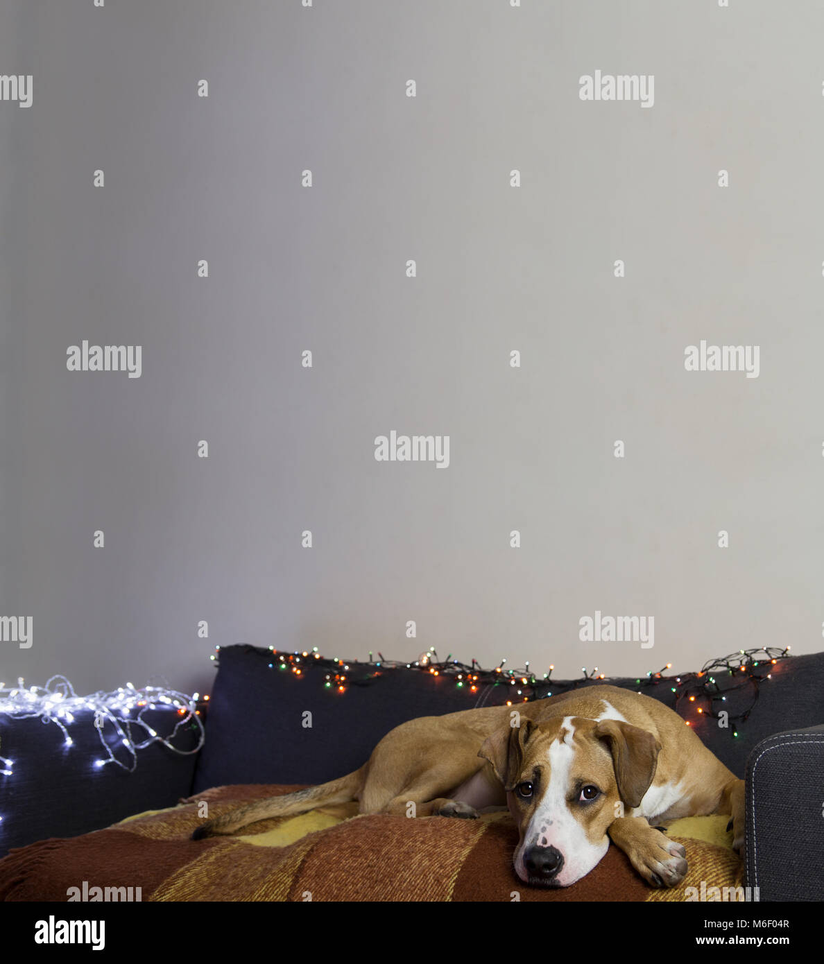 Dog on couch in cozy room with christmas tree set and white wall - Stock Image