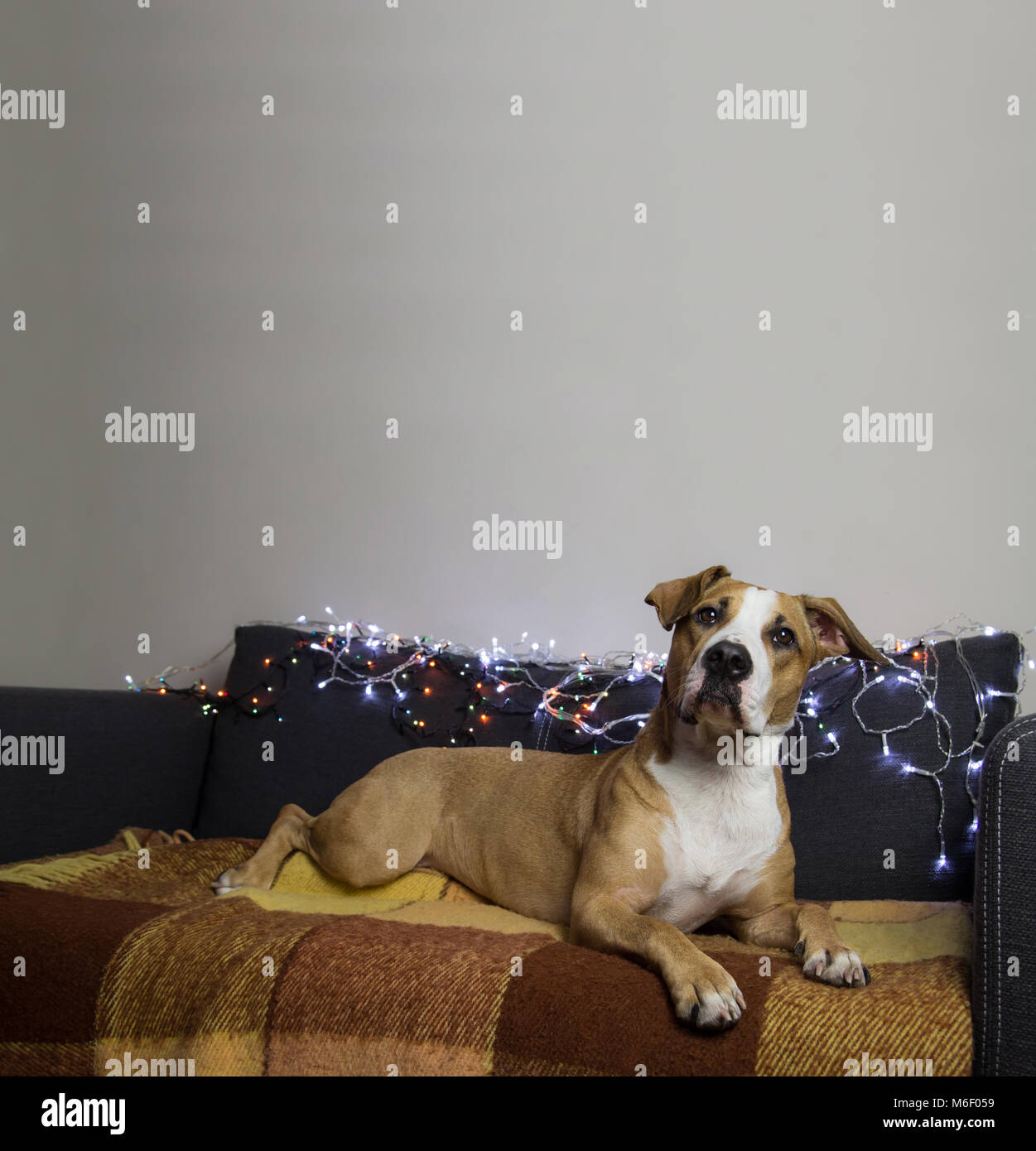 Surprised dog on couch in living room with christmas tree set and white wall - Stock Image