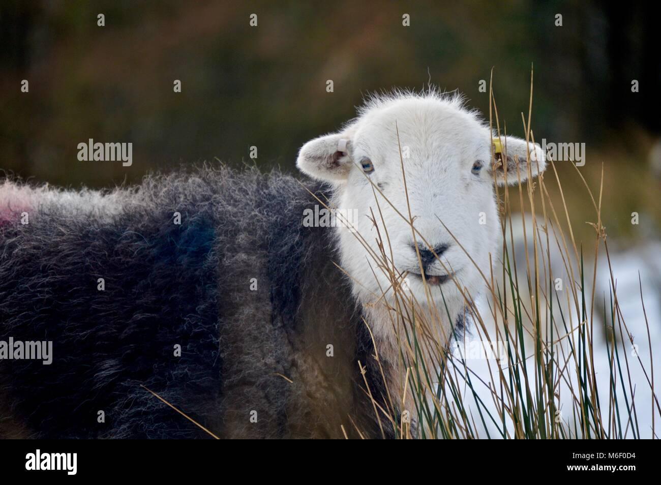 Herdwick Sherp In The Snow - Stock Image