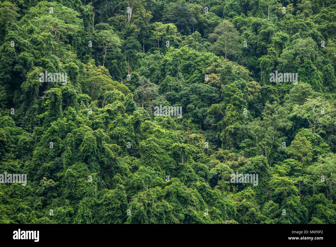 Thick, impenetrable jungle canopy in south Asia - Stock Image