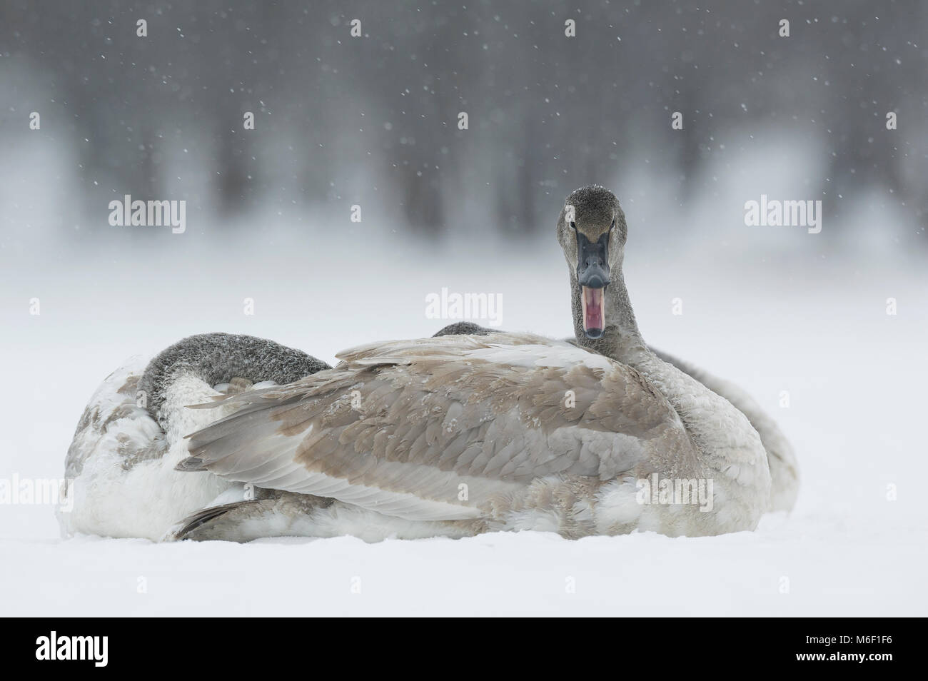 Immature Trumpeter Swans (Cygnus buccinators)sitting on St Croix River, WI, USA, by Dominique Braud/Dembinsky Photo - Stock Image