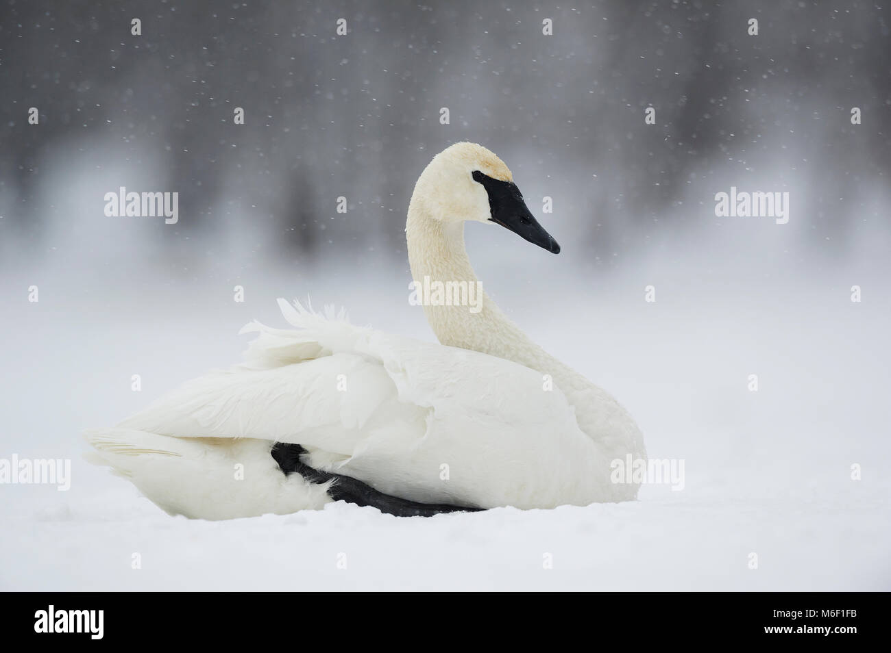 Trumpeter swan (Cygnus buccinator) on frozen St. Croix River near Hudson, WI USA by Dominique Braud/Dembinsky Photo - Stock Image