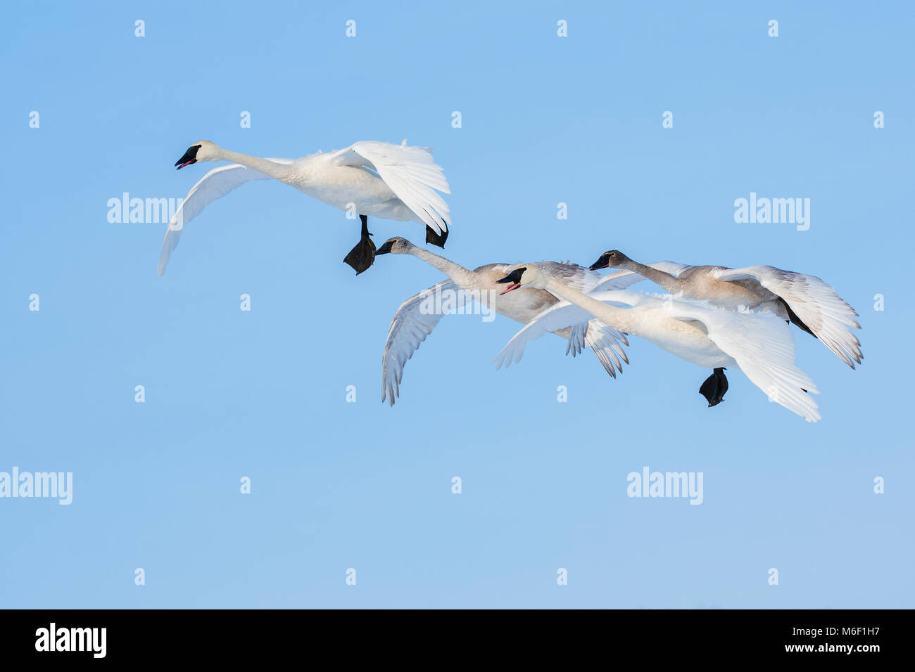 Trumpeter swan family unit (Cygnus buccinator),  St. Croix River between Minnesota and Wisconsin. WI USA, by Dominique - Stock Image
