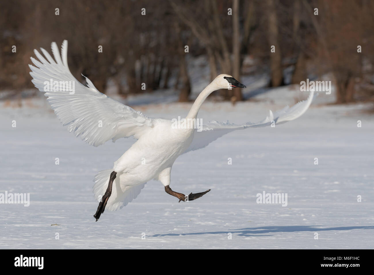 Trumpeter swan (Cygnus buccinator),  St. Croix River between Minnesota and Wisconsin. Hudson, WI USA, by Dominique - Stock Image