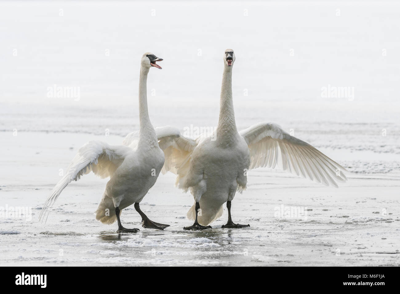 Trumpeter swans (Cygnus buccinator), St. Croix River between Minnesota & Wisconsin. Hudson, WI, USA, by Dominique - Stock Image