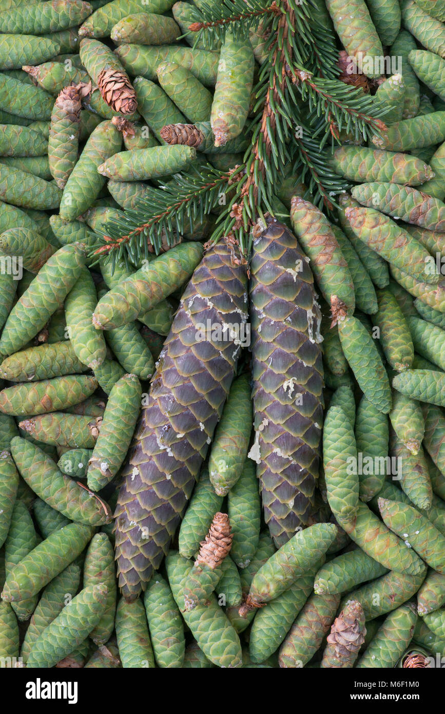 Spruce Pine cones (Picea), by Skip Moody/Dembinsky Photo Assoc - Stock Image