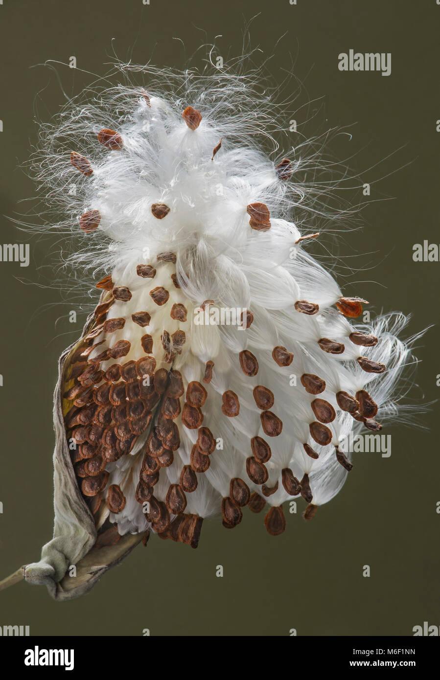 Common Milkweed seed pods (Asclepias syriaca), seed pod bursted open, E USA, by Skip Moody/Dembinsky Photo Assoc - Stock Image