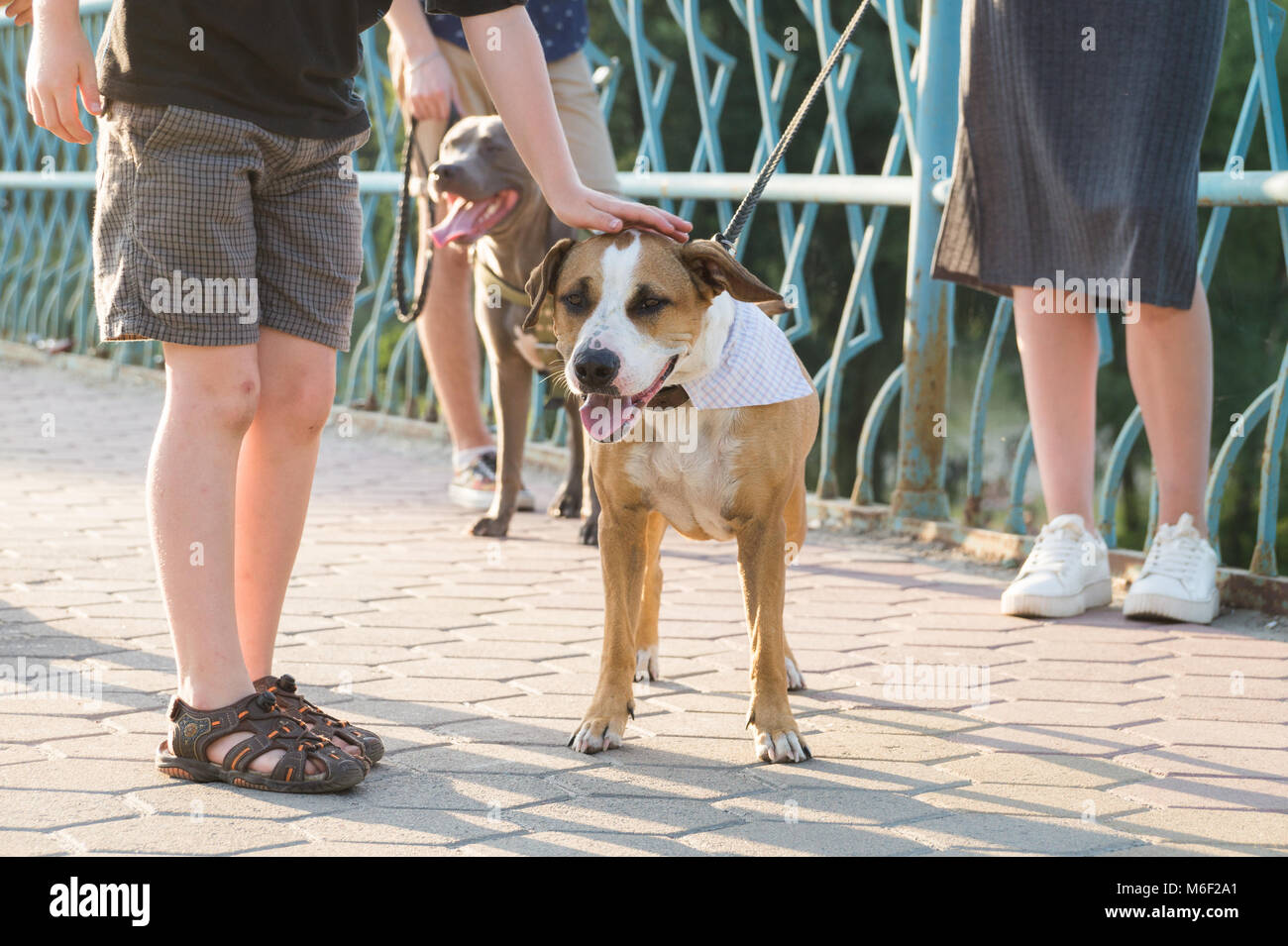 Child pats socialized dog in the park on a sunny day - Stock Image