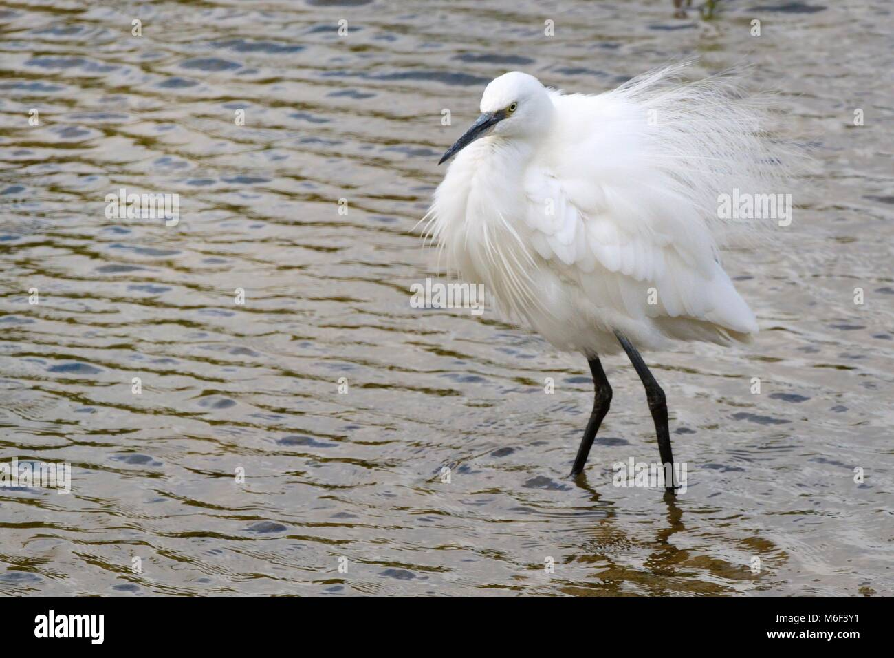 Little egret (Egretta garzetta) fluffing up the plumes on its back and chest, Rutland Water, Rutland, UK, August. - Stock Image