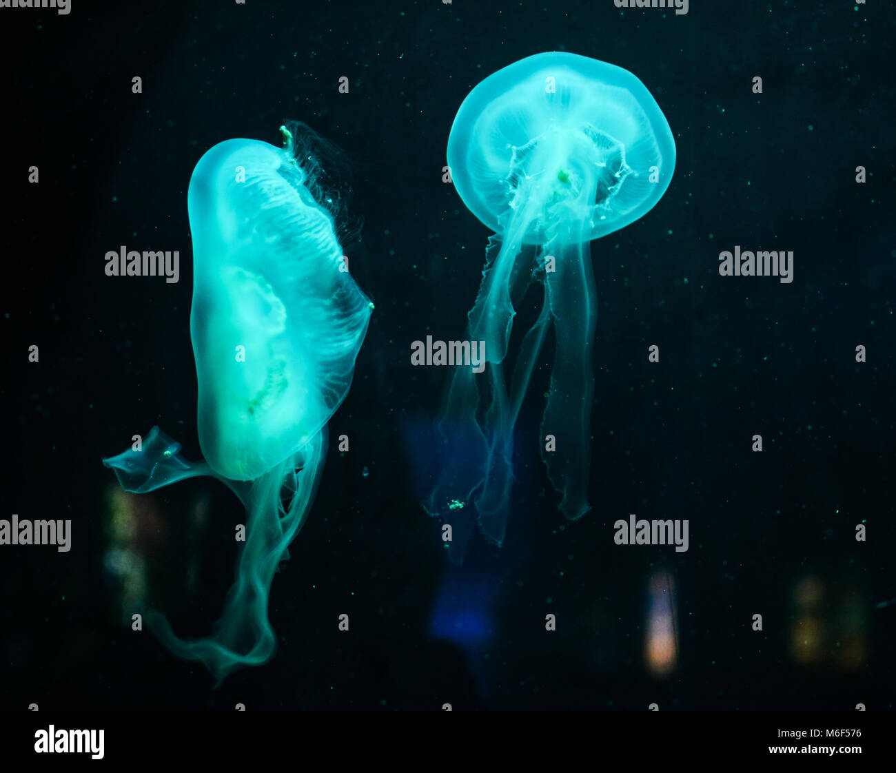 Two azurian blue jellyfish floating in the dark water - Stock Image