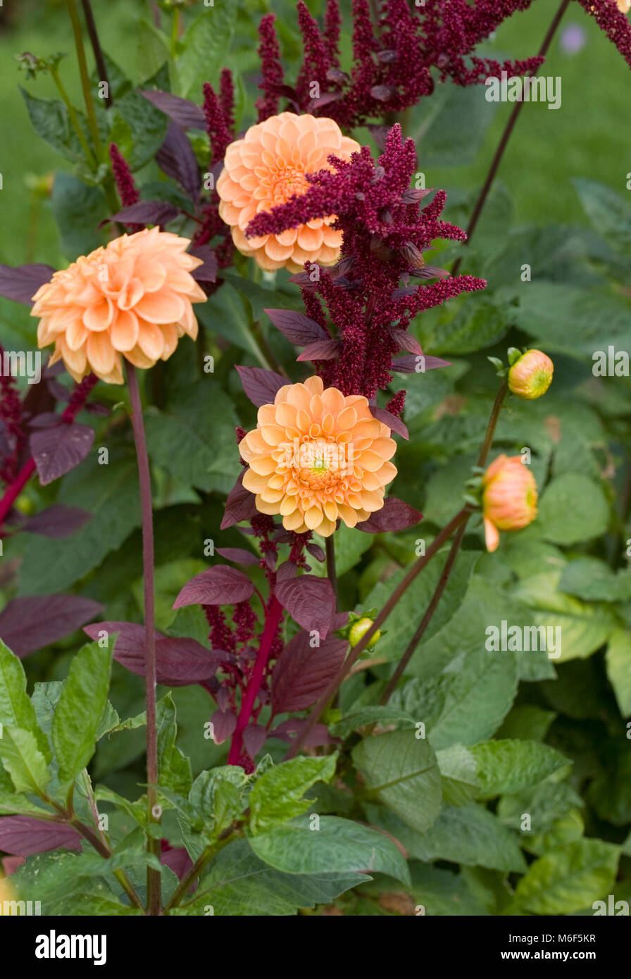 Amaranthus and Dahlia 'Apricot Jewel' flowers growing in an herbaceous border. - Stock Image