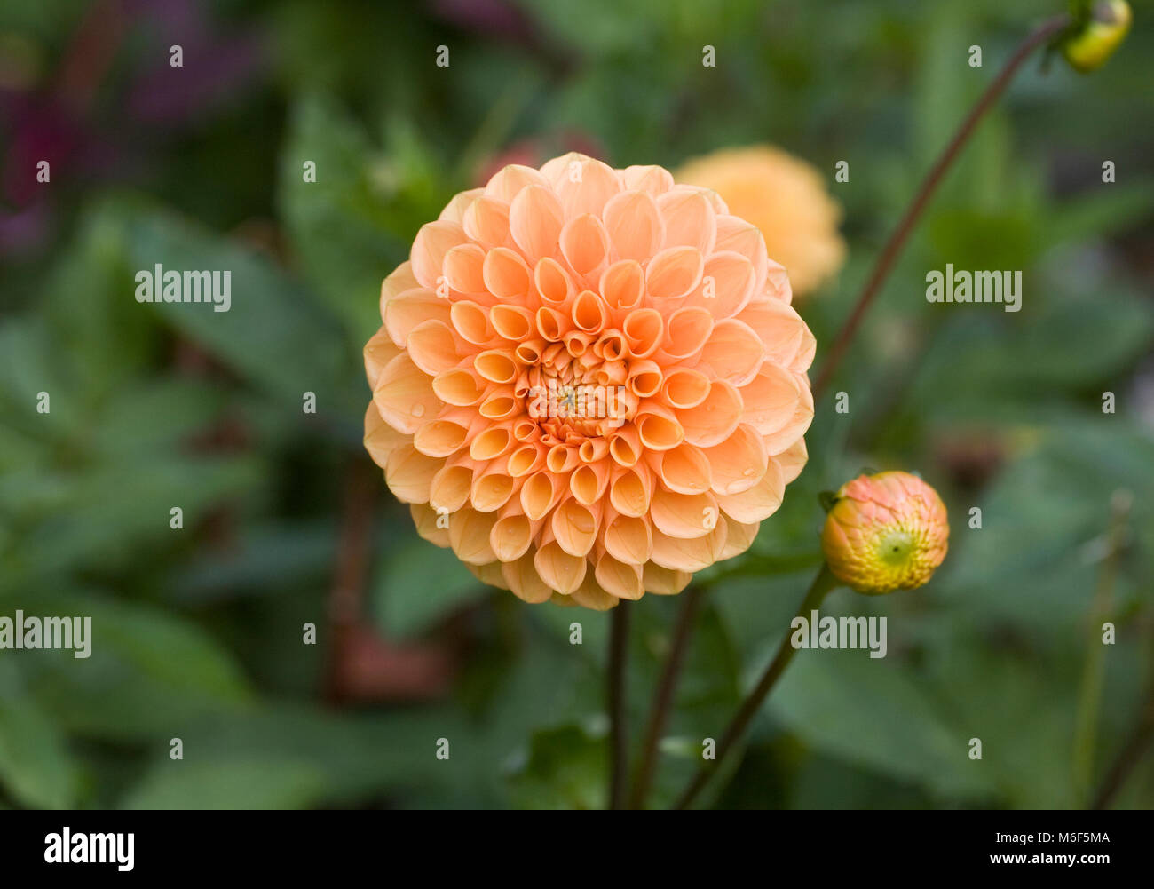 Dahlia 'Apricot Jewel' flowers in late summer. - Stock Image