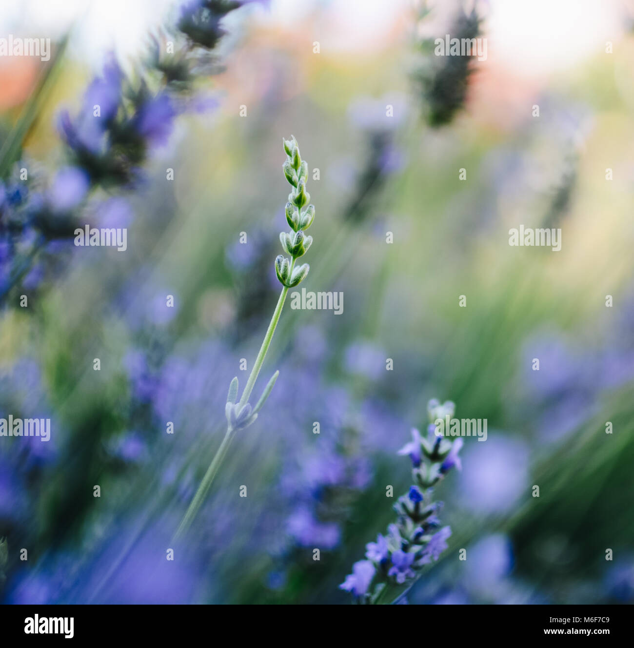 Beautiful Purple Lavender in the Summer Garden Stock Photo