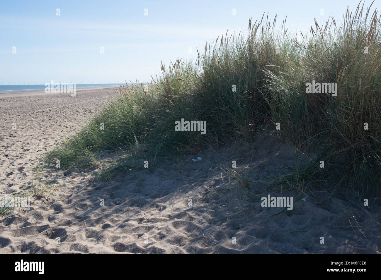 The mix of lyme grass and marram on the sand dunes near Skegness in Lincolnshire form a barrier to prevent erosion. - Stock Image