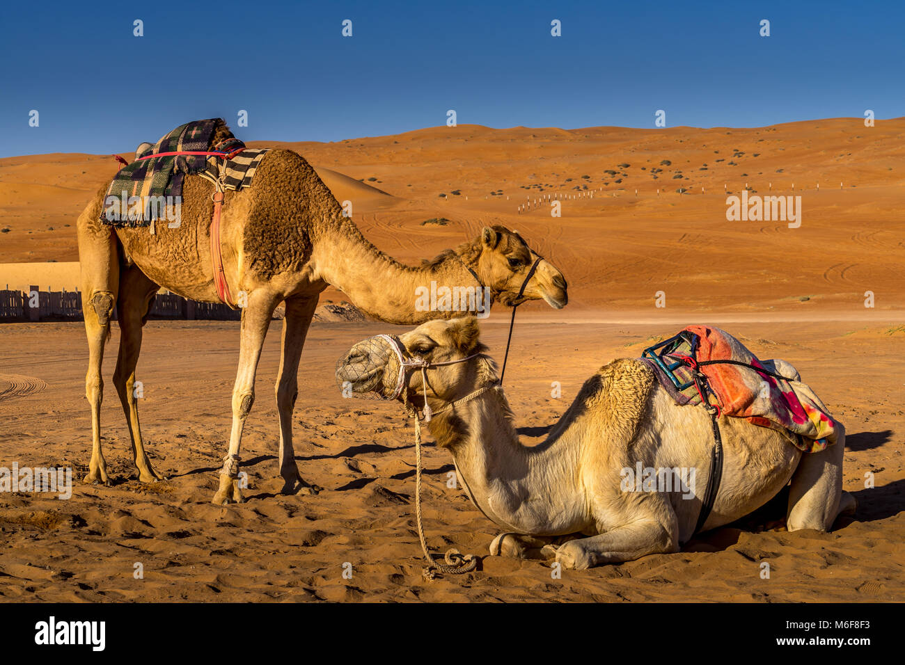 Couple of camels resting in Wahiba Sands , Oman Stock Photo