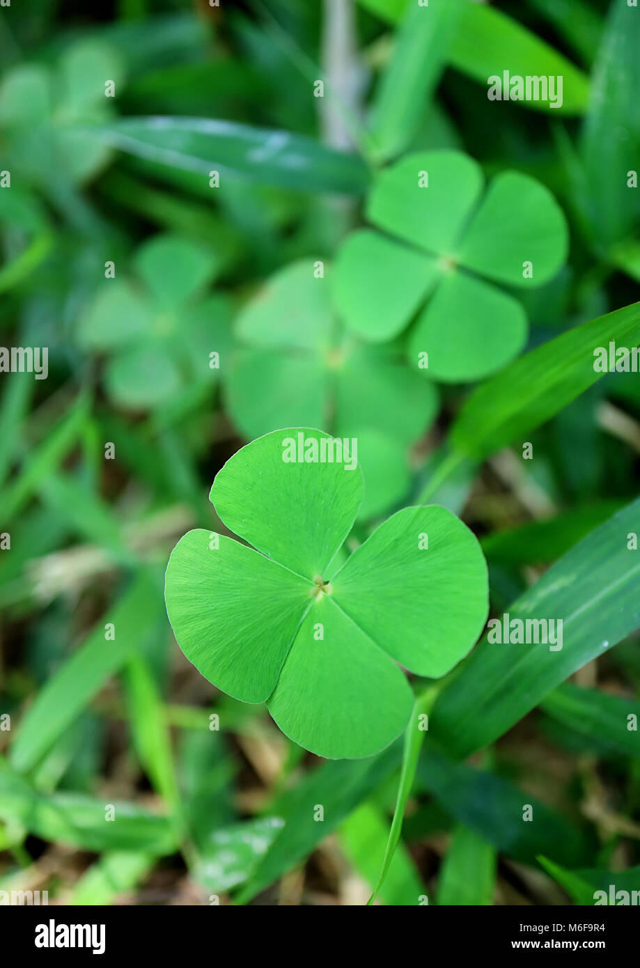 Vertical Photo Of Four Leaf Clover Fern Plants Blurred Background