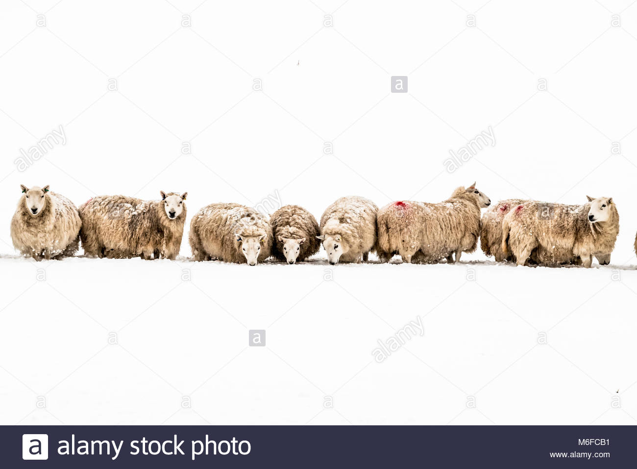 Hownam, Jedburgh, Scottish Borders, UK. 3rd March 2018. Sheep line up in the snow on Chatto Farm near Hownam in - Stock Image