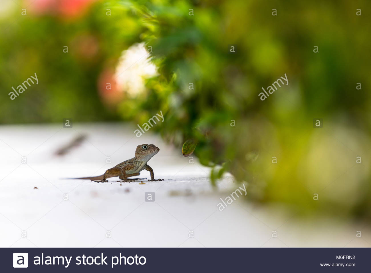 The small brown lizard in the natural environment. Green blurred background with tender leaf and white rose shape. - Stock Image